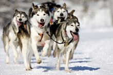 bigstock-Husky-Race-5334529
