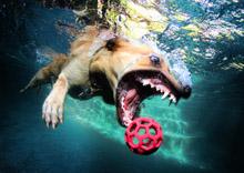 A labrador retriever pursues a ball underwater.