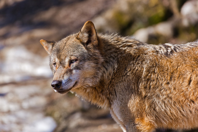Der Wolf ist der Urahn der Haushunde